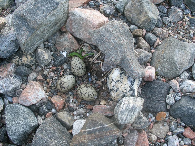 Гнездо кулика-сороки.